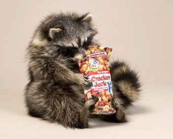 raccoon-eating-cracker-jack