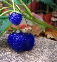 blue-strawberry-1