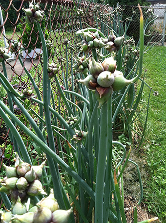egyptian-onions
